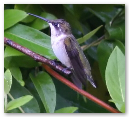 Hummingbird at Rest (46984694)