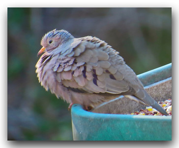 Ground Dove.