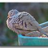 Ground Dove.
