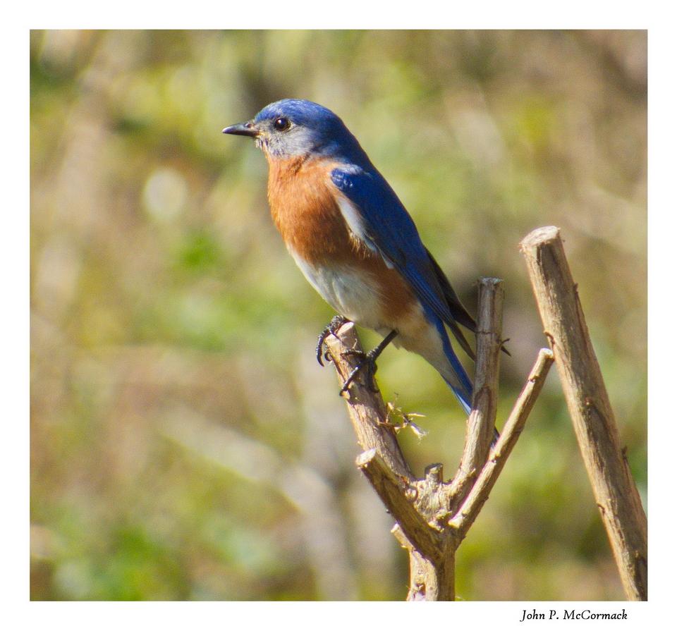 Blue Bird - 2014