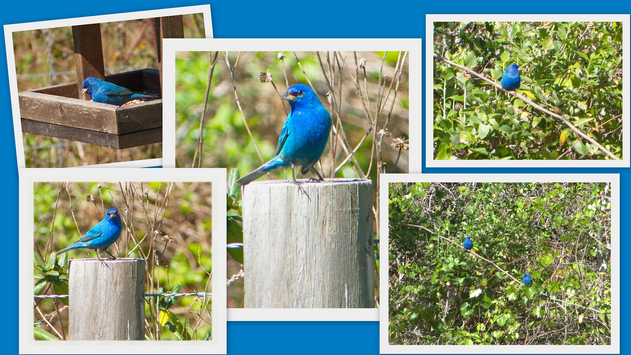 Indigo Bunting Collage