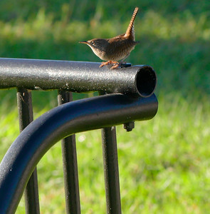 Wren in Wallace Brooks Park