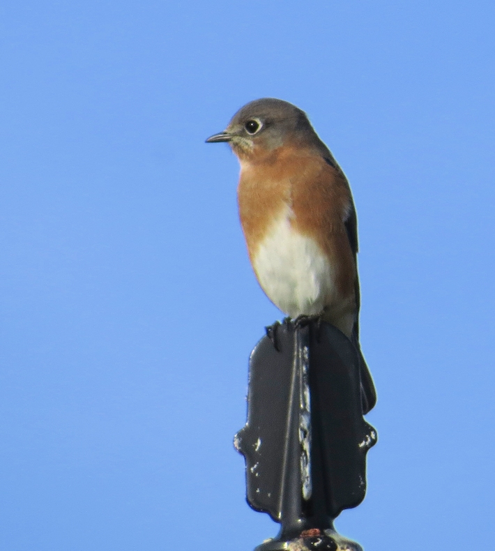 Bluebird on a post
