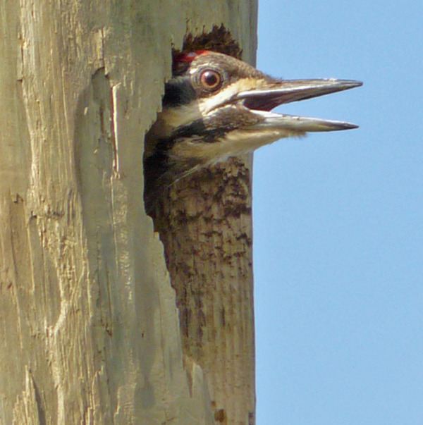 Pileated woodpecker peeking out from nest (97342715)
