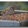 Common Sparrow