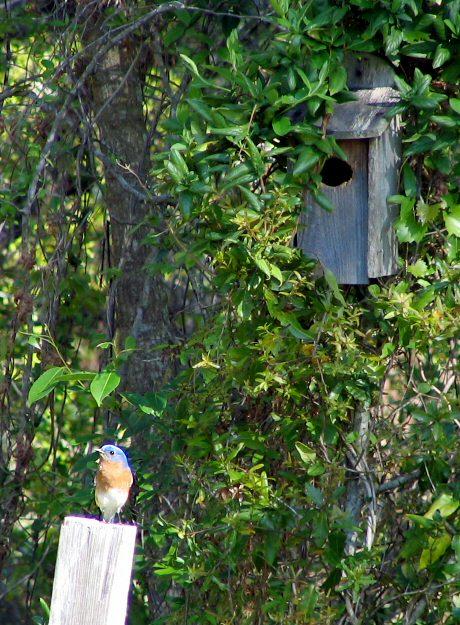 Blue Bird Perching Near Its House (41490068)