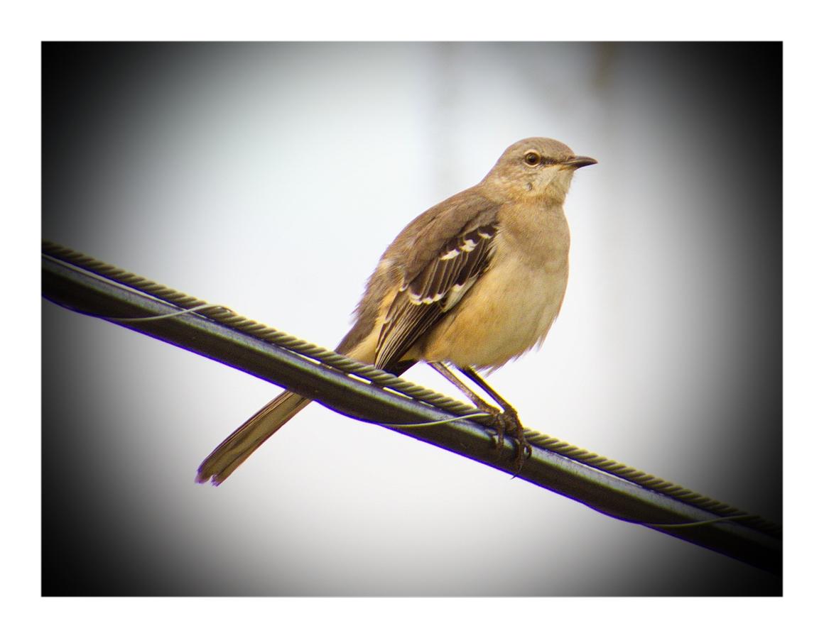 Bay Breasted Warbler (?)