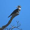 Belted Kingfisher. Kings Bay. Crystal River, Florida
