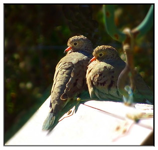 Ground Doves on Cold Morning