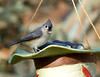 Tufted Titmouse<br /> Tufted Titmouse  Mountain Meadows Everett, PA