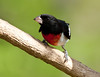 Rose-breasted Grosbeak<br /> Rose-breasted Grosbeak, Mountain Meadows, Bedford County, Pennsylvania