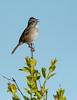 Swamp Sparrow<br /> Swamp Sparrow  Presque Isle State Park, PA