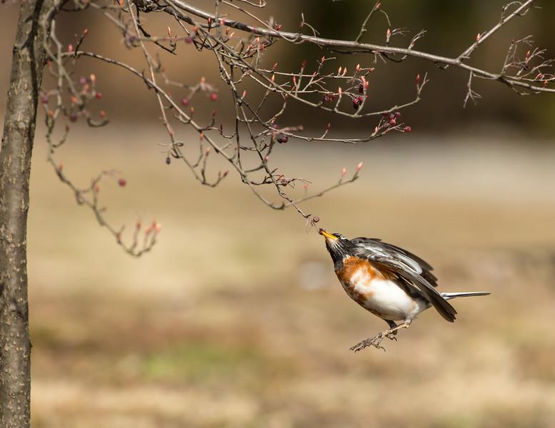 Leucistic Robin Feeding