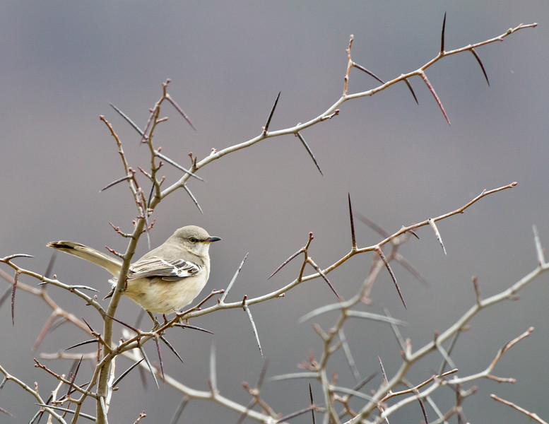 Thorny Hangout:  Northern Mockingbird<br /> Thorny Hangout:  Northern Mockingbird Bedford County, PA