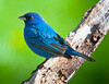 Indigo Bunting<br /> Indigo Bunting, Mountain Meadows, Bedford County, Pennsylvania