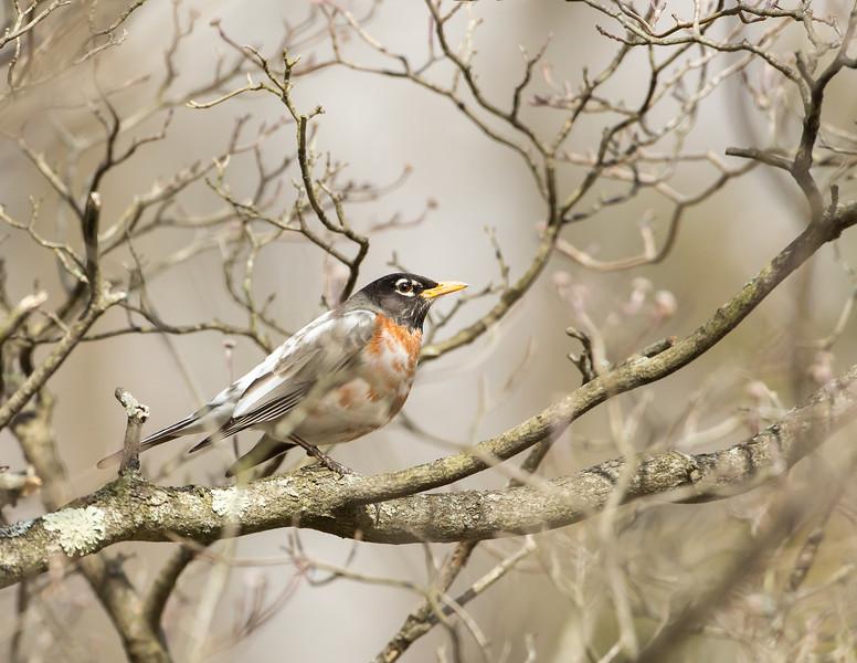 Leucistic Robin in Dogwood