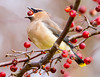 Berry Good:  Cedar Waxwing in Crabapple<br /> Berry Good:  Cedar Waxwing in Crabapple Mountain Meadows Everett, PA