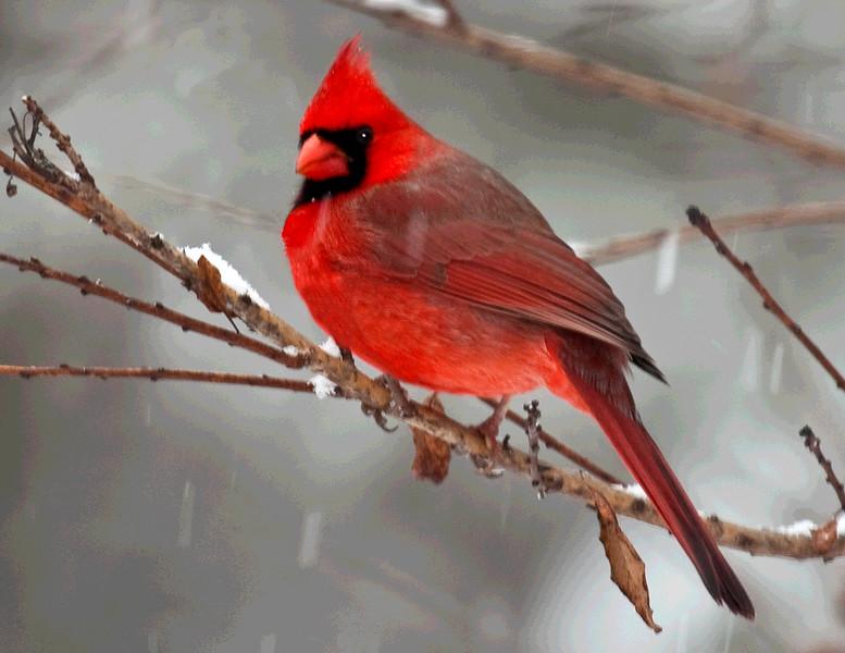 Christmas Cheer<br /> Northern Cardinal, Mountain Meadows, Bedford County, Pennsylvania