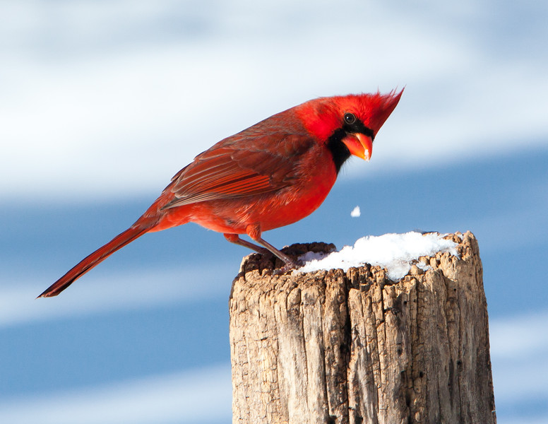 Snowy Snack<br /> Snowy Snack: Northern Cardinal Mountain Meadows Bedford County, PA