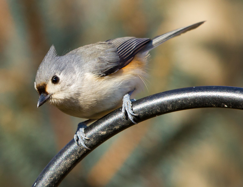 Tufted Titmouse<br /> Tufted Titmouse Mountain Meadows Bedford County, PA