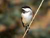 Black-capped Chickadee<br /> Black-capped Chickadee  Mountain Meadows Everett, PA
