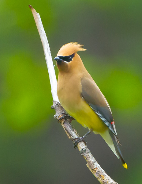 Worried Waxwing<br /> Cedar Waxwing Will's Mountain Bedford County, PA