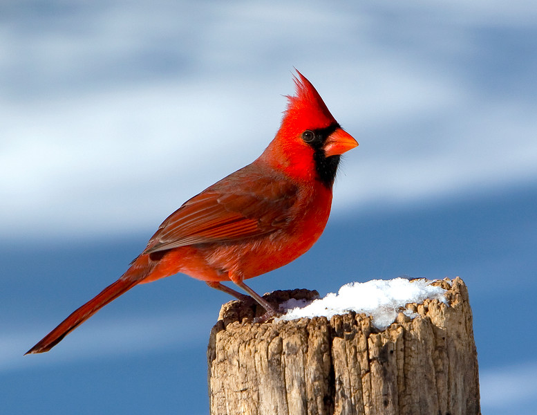 Northern Cardinal<br /> Northern Cardinal Mountain Meadows Bedford County, PA