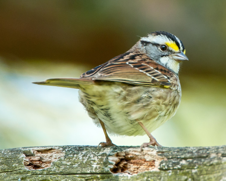 Mr. Peabody:  White-throated Sparrow<br /> Mr. Peabody:  White-throated Sparrow Presque Isle State Park, PA