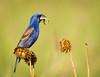 Blue Grosbeak<br /> Blue Grosbeak on Nodding Thistle with Praying Mantis, Middle Creek Wildlife Management Area, PA
