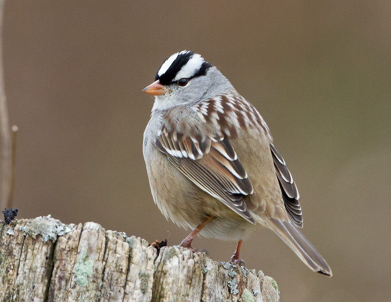 The Sparrow King:  White-crowned Sparrow<br /> The Sparrow King:  White-Crowned Sparrow, Bedford County, Pennsylvania