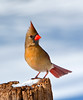 Lady in Waiting:  Female Northern Cardinal<br /> Lady in Waiting:  Female Cardinal  Mountain Meadows Everett, PA
