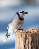 Blue Jay<br /> Blue Jay Mountain Meadows Bedford County, PA