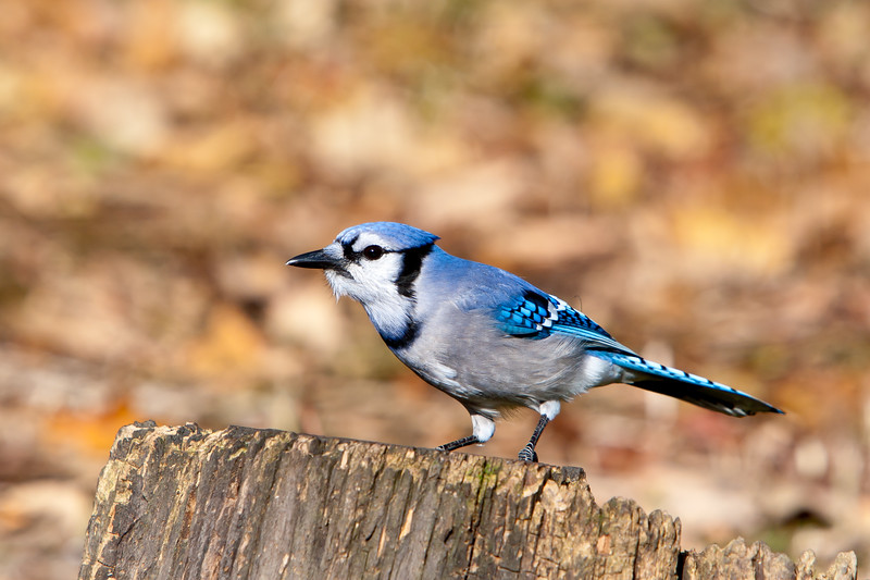 Blue Jay<br /> Blue Jay, Mountain Meadows, Bedford County, PA