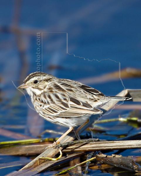 Savannah Sparrow,<br /> Brazaoria National Wildlife Refuge, Texas
