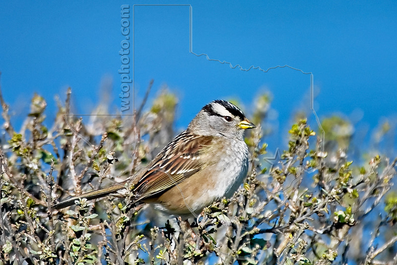 White-crowned Sparrow,<br /> Point Reyes, California