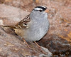 White-crowned Sparrow,<br /> Quintana Neotropical Bird Sanctuary, Quintana, Texas