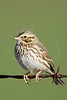 Savannah Sparrow,<br /> Nordheim, Texas