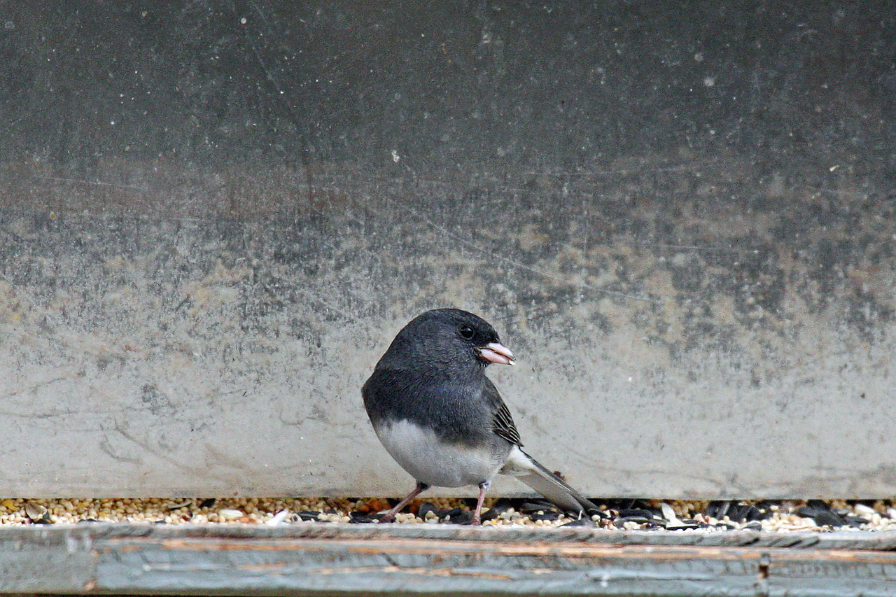 "Dark-eyed Junco ""Slate-colored"""