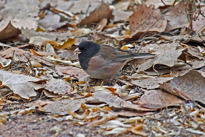 "Dark-eyed Junco "" Oregon"""