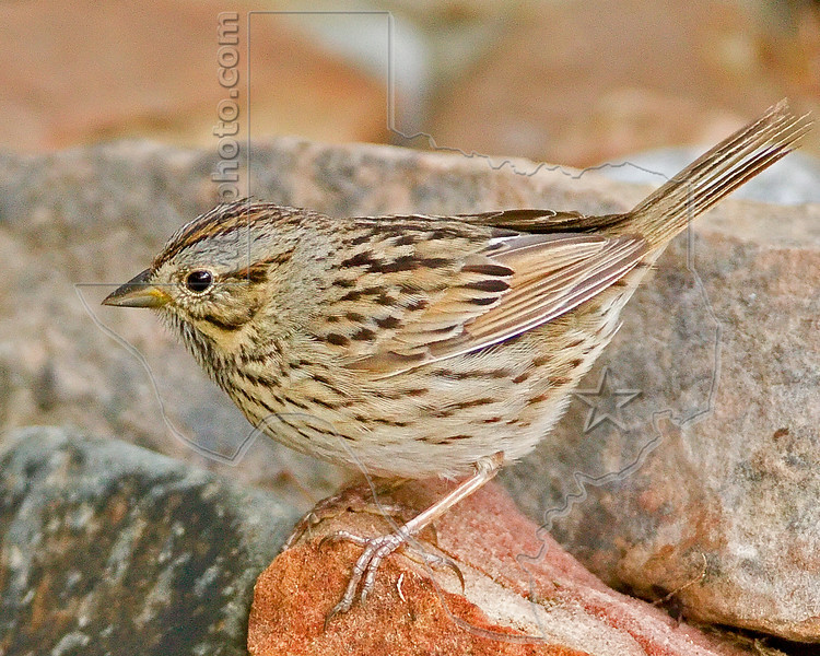 Lincoln's Sparrow,<br /> Quintana Neotropical Bird Sanctuary, Quintana, Texas