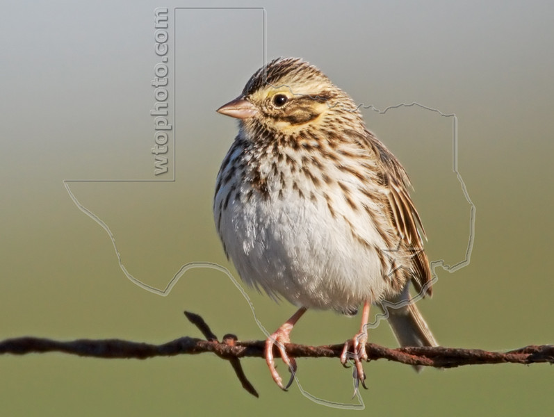 Savannah Sparrow,<br /> Nordheim, Texas