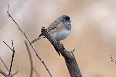 "Dark-eyed Junco ""Oregon"""