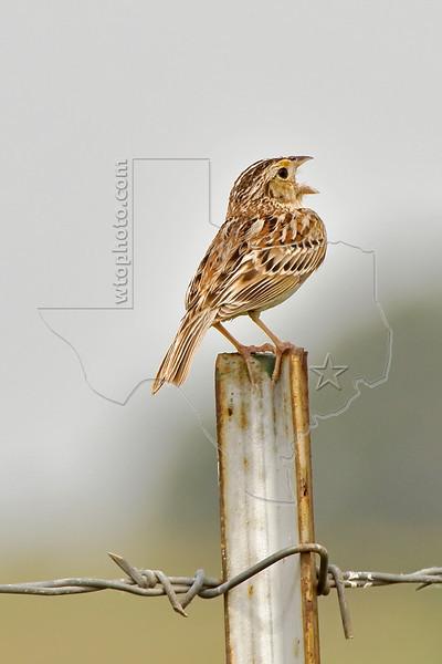 Grasshopper Sparrow,<br /> Nordheim, Texas
