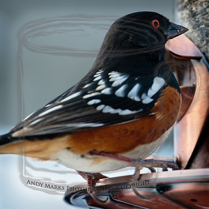 Spotted Towhee w bright red eyes