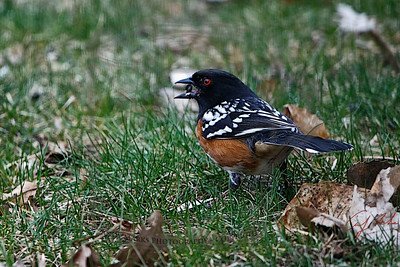 Spotted towhee: ruby red eyes.