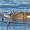 Blue-winged Teal Mating