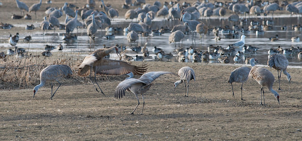 Sandhill Cranes at Creamers Field