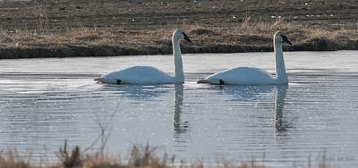 Trumpeter Swans, Creamers Field