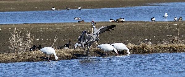 Sandhill Cranes groom at Creamers Field