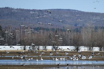 Snow Geese, Creamers Field